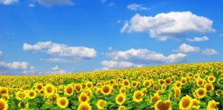 đồi hoa mặt trời